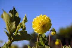 Dahlia flower grown in wild field.  royalty free stock photos