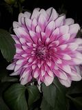 Dahlia Flower In India royaltyfri bild