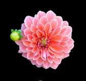 Dahlia flower isolated on blackground Royalty Free Stock Image