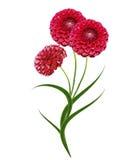 Dahlia flower isolated on white background Royalty Free Stock Photos