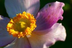 Dahlia flower macro Stock Image