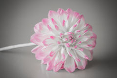 Dahlia Flower med en grå bakgrund Royaltyfria Bilder