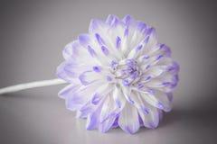 Dahlia Flower med en grå bakgrund Fotografering för Bildbyråer