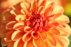 Dahlia flower in morning sun Royalty Free Stock Photo