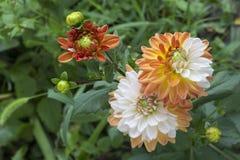 Dahlia Flower Nahaufnahme Lizenzfreies Stockfoto