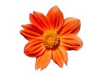 Dahlia Flower Orange Isolated Imagen de archivo libre de regalías