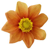 Dahlia flower  orange, white isolated background with clipping path.   Closeup.  no shadows.  For design. eight petals. Dahlia flower  orange, white isolated Stock Image