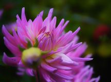 Dahlia flower pink color beauty macro close-up Royalty Free Stock Photos