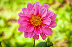 Dahlia flower. Stock Images