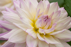 Dahlia flower Stock Photo