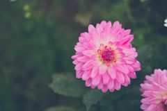 Dahlia flower. pink flora in garden. blooming blossom in park. Dahlia flower. pink flora in garden. blooming blossom in summer Stock Photography