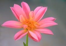 Dahlia flower pink in the garden. A dahlia flower pink in the garden Royalty Free Stock Photos