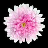 Dahlia Flower pink petals Isolated on Black Royalty Free Stock Photography