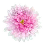 Dahlia Flower pink petals Isolated on White. Pink Dahlia Flower - Pink white petals with isolated on White Background Royalty Free Stock Image