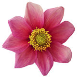 Dahlia flower  pink, white isolated background with clipping path.   Closeup.  no shadows.  For design. eight petals. Nature Stock Photo