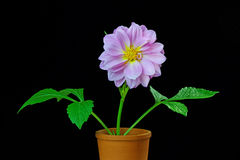 Dahlia in a Flower Pot Royalty Free Stock Photo