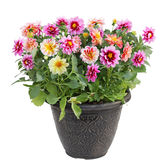 Dahlia Flower in Pot Stock Photos