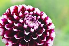 Dahlia flower purple white tipped Edinburgh hybrid macro Royalty Free Stock Photo