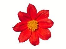 Dahlia Flower Red Isolated Imagen de archivo libre de regalías