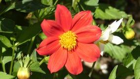 Dahlia Flower Red Sway In el viento almacen de video
