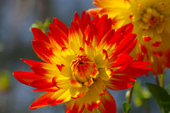 Dahlia flower in red and yellow Stock Images