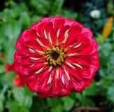 Dahlia Flower roja. Foto de archivo libre de regalías