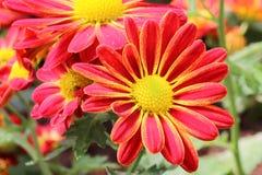 Dahlia Flower rouge colorée Image stock