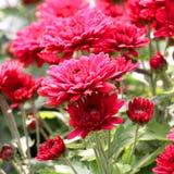 Dahlia Flower rouge colorée Photographie stock libre de droits