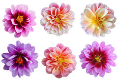 Dahlia flower Set. Set of dahlia flower heads isolated on white background Royalty Free Stock Photos