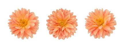 Dahlia flower set isolated on a white. Dahlia flower set isolated on a white background royalty free stock image