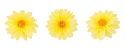 Dahlia flower set isolated on a white. Stock Photos