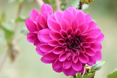 Dahlia Flower. In the summer garden Stock Images