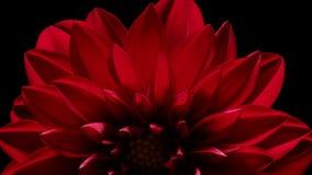 Dahlia Flower Timelapse Stock Afbeelding
