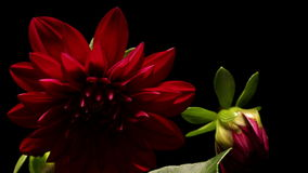 Dahlia Flower Timelapse Stock Images