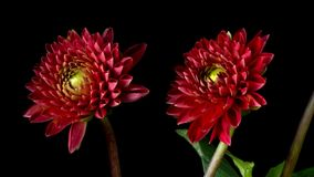 Dahlia Flower Timelapse vermelha filme