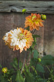 Dahlia Flower Tropfen des Taus Nahaufnahme Lizenzfreie Stockfotos