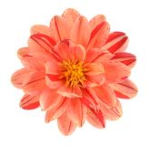 Dahlia flower. Two tone red and orange dahlia flower isolated on white background Royalty Free Stock Photos