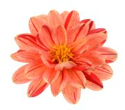 Dahlia flower. Two tone red and orange dahlia flower isolated on white background Royalty Free Stock Images