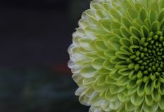 Dahlia Flower image libre de droits