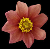 Dahlia flower vinous-red, black isolated background with clipping path.   Closeup.  no shadows.  For design. eight petals. Dahlia flower vinous-red, black Royalty Free Stock Photography