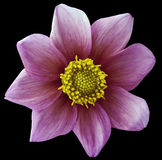 Dahlia flower violet-pink, black isolated background with clipping path.   Closeup.  no shadows.  For design. eight petals. Dahlia flower violet-pink, black Royalty Free Stock Image