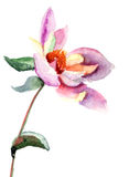 Dahlia flower, watercolor illustration Royalty Free Stock Photography