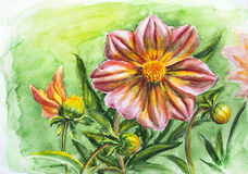 Dahlia flower, watercolor painting Stock Image