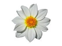 Dahlia Flower White Isolated Imágenes de archivo libres de regalías