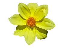 Dahlia Flower Yellow Isolated Imagen de archivo