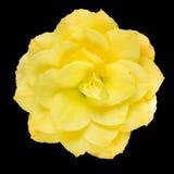 Dahlia Flower Yellow Petals Isolated auf Schwarzem Lizenzfreie Stockbilder