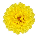 Dahlia Flower Yellow Petals Isolated On White Royalty Free Stock Photo