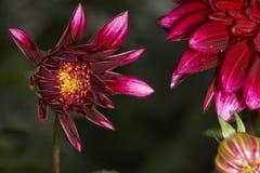 Dahlia floweras Royalty Free Stock Image