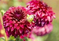 Dahlia Flowers Royalty-vrije Stock Fotografie