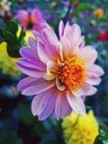 Dahlia Flowers imagem de stock